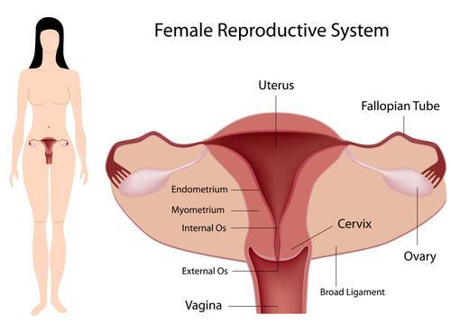 vrouwelijke reproductieorganen, baarmoederspieren, cervix